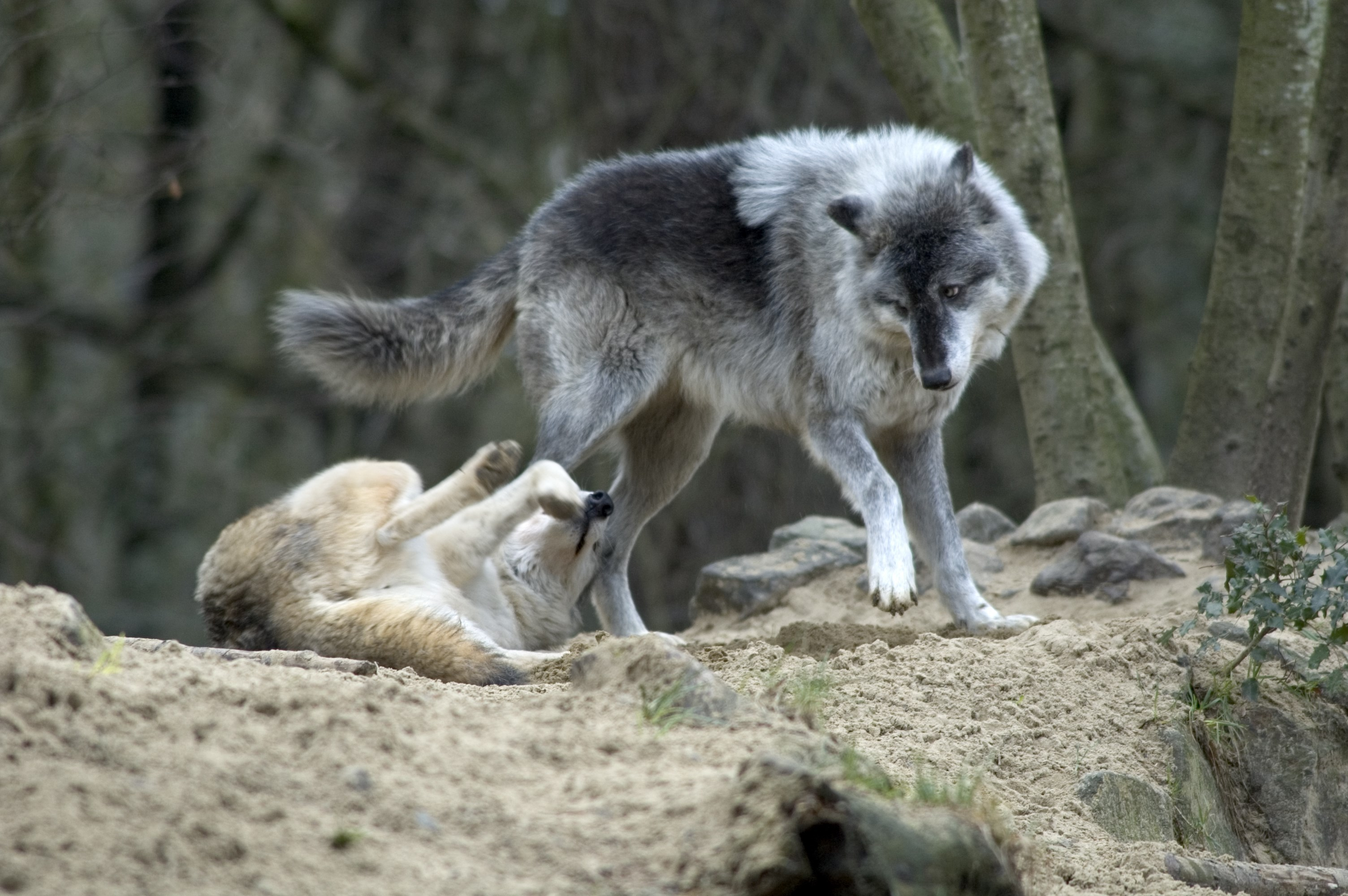 Grey Wolf Known People Famous People News And Biographies