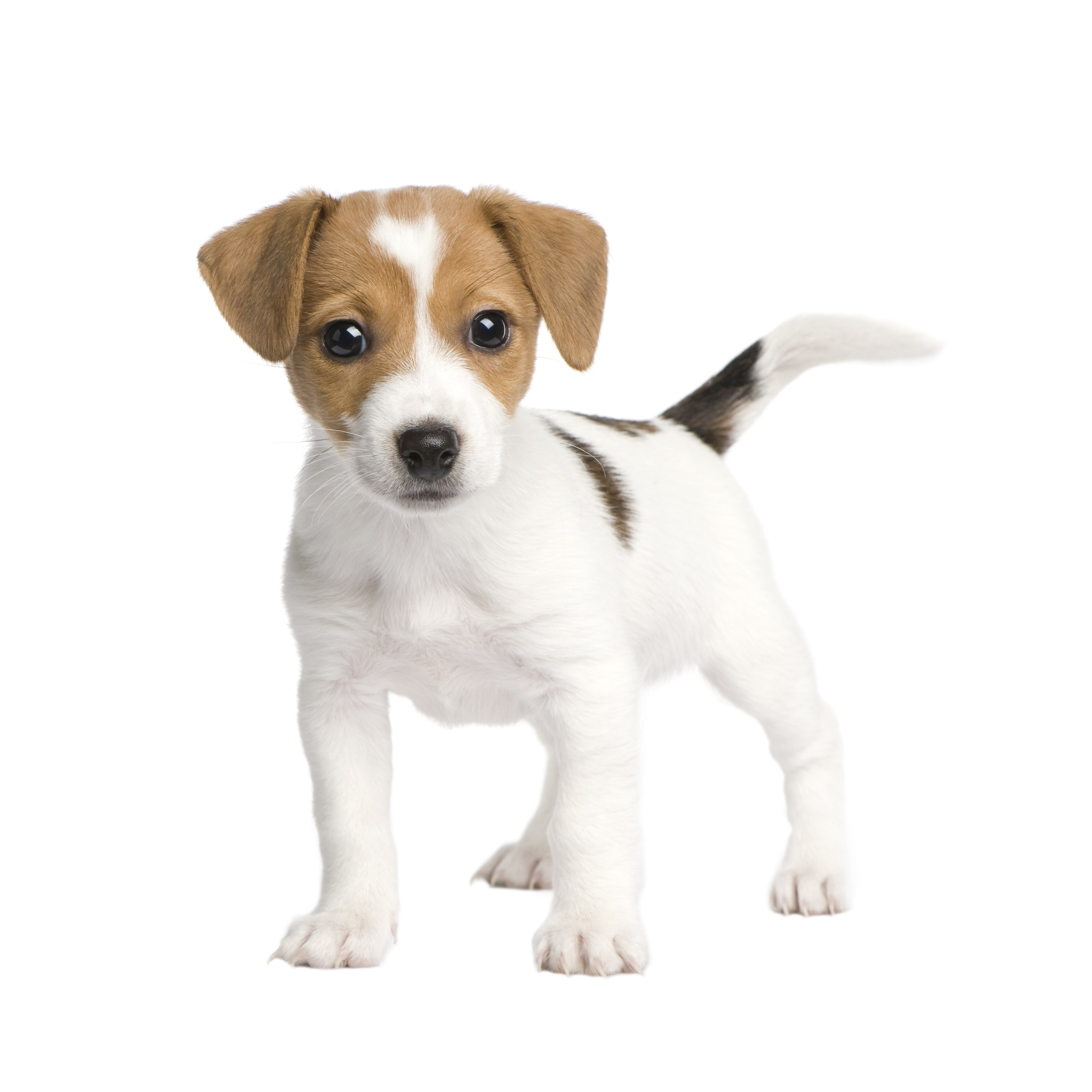 jack russell known people famous people news and